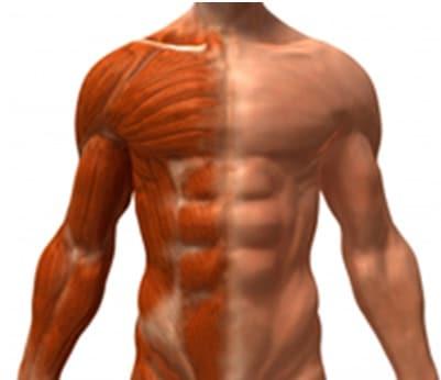 antioxidantes y masa muscular