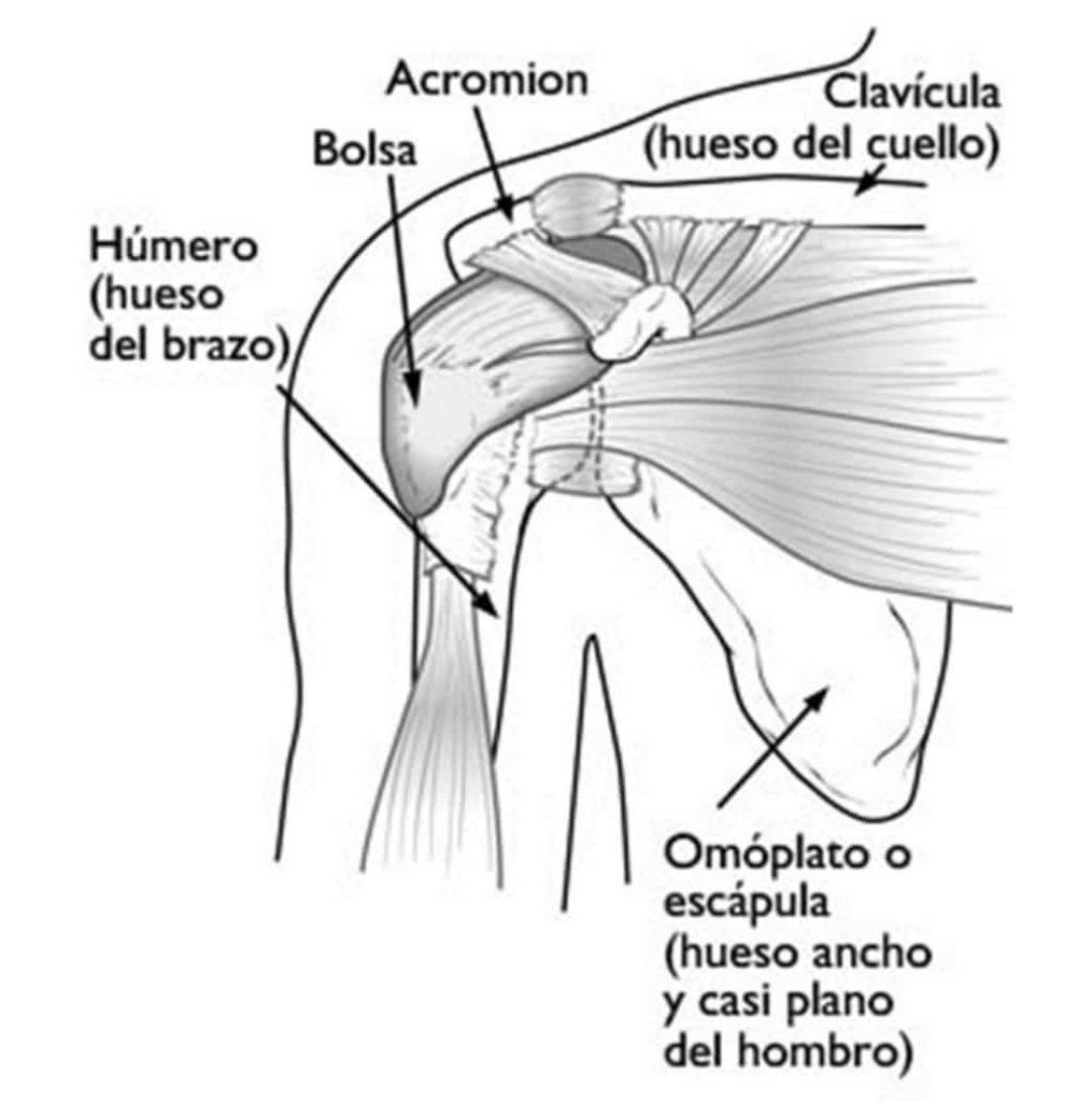 Anatomía del manguito rotador