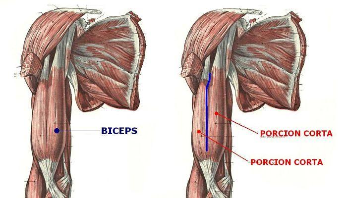 Guía de Bíceps: Anatomía