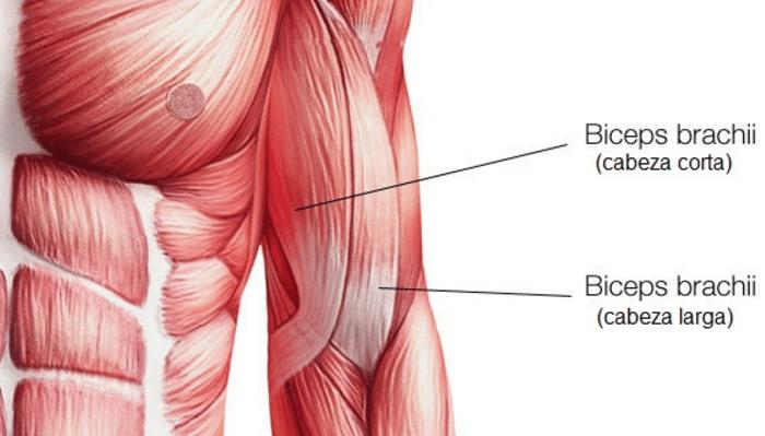 Músculos del bíceps