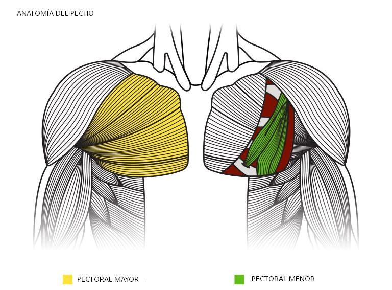 anatomía del pecho